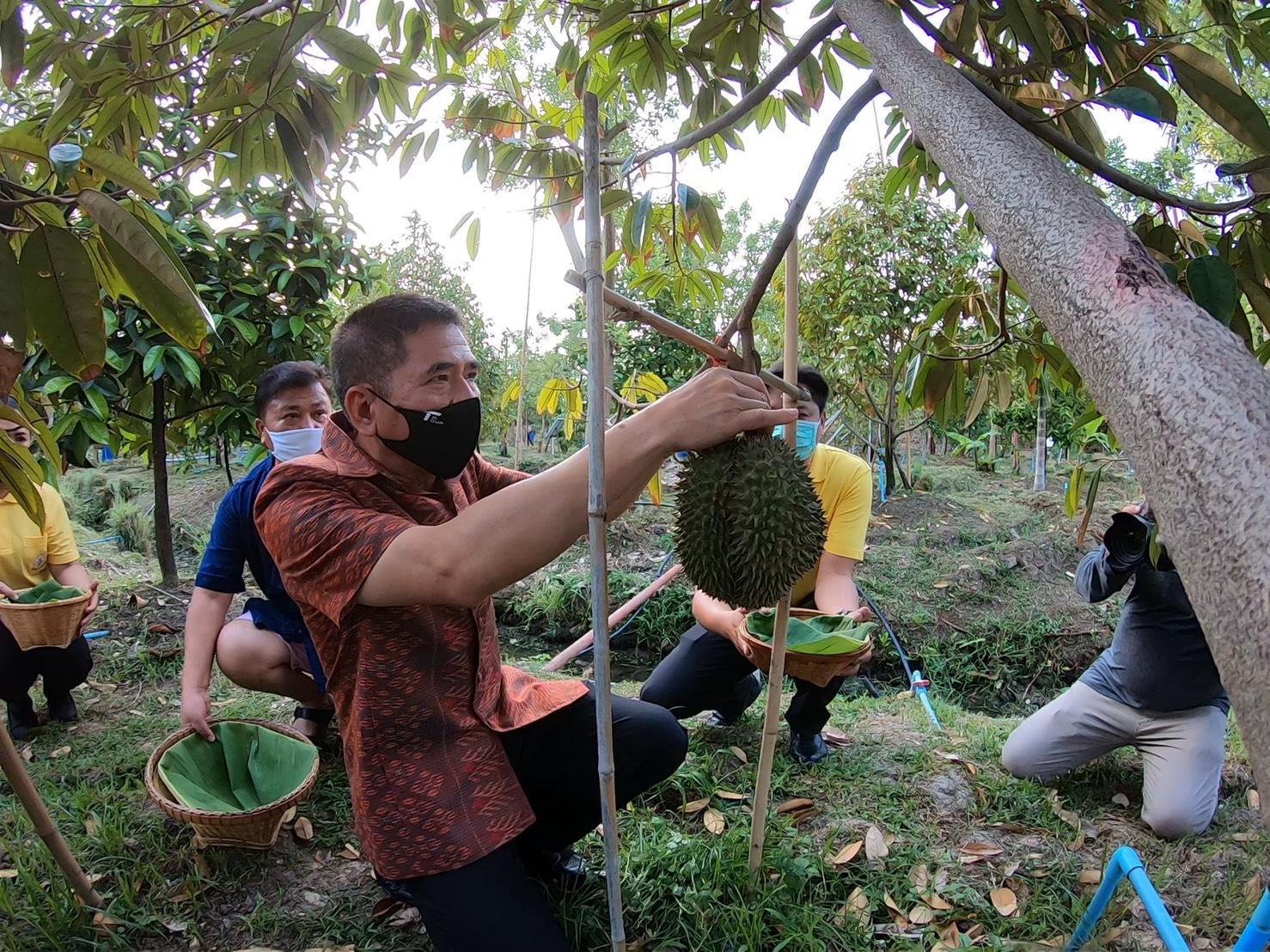 จังหวัดนนทบุรีถือฤกษ์วันพืชมงคลดำเนินการตัดทุเรียน ๓ ผลแรกของโครงการอนุรักษ์สวนทุเรียนนนท์